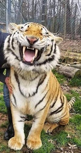 Tigre%20ride%20mod
